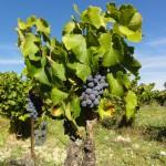 Vignes et raisins Luberon Vaucluse