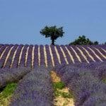Champ de lavandes Luberon Provence
