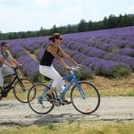 Cyclists in the lavender fields Luberon