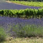 champ de lavande et vigne Luberon Provence