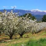 Cerisiers en fleurs et Mont Ventoux