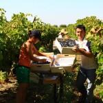 Wine yard in Provence and Luberon