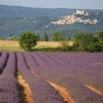 Lavender yard in Lacoste in Luberon